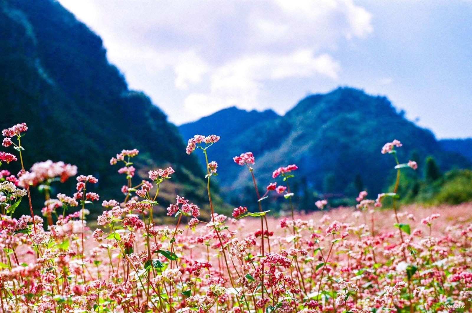Mùa đông có hoa gì - Hoa tam giác mạch