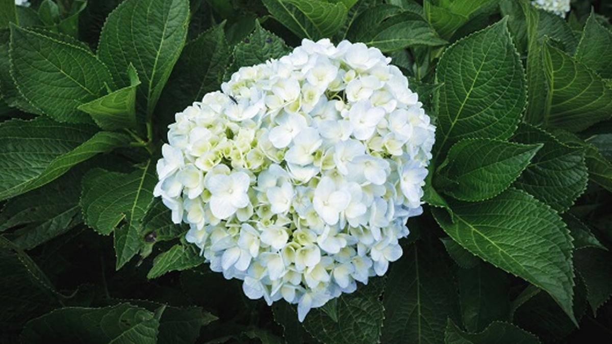 Mùa đông có hoa gì - Hoa cẩm tú cầu
