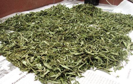 Thử ngay tác dụng của cây ngải cứu phơi khô và cảm nhận giá trị sức khỏe 1