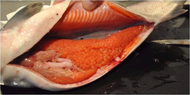 Ăn trứng cá có tốt không? Khám phá những lợi ích cao hơn cả thịt cá 5