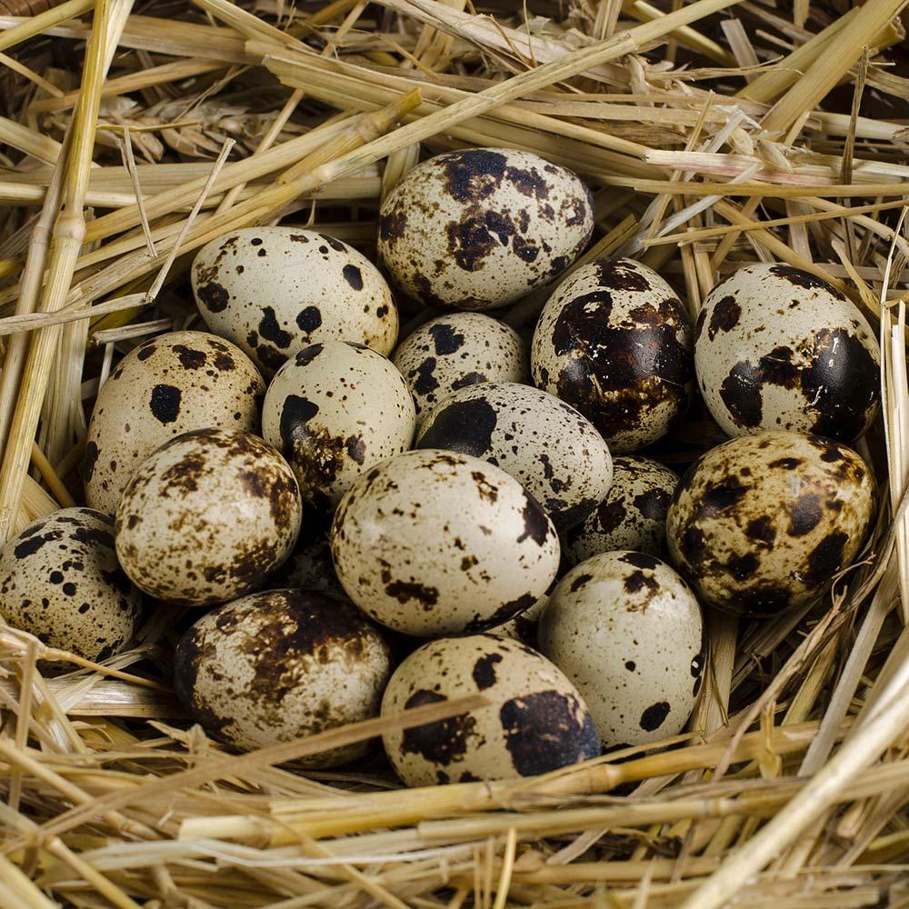 Bầu ăn trứng cút lộn được không