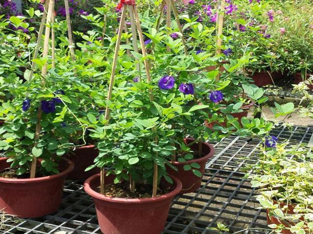 cách trồng cây hoa đậu biếc