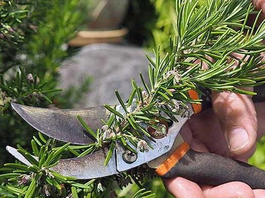 Cách trồng cây hương thảo 1