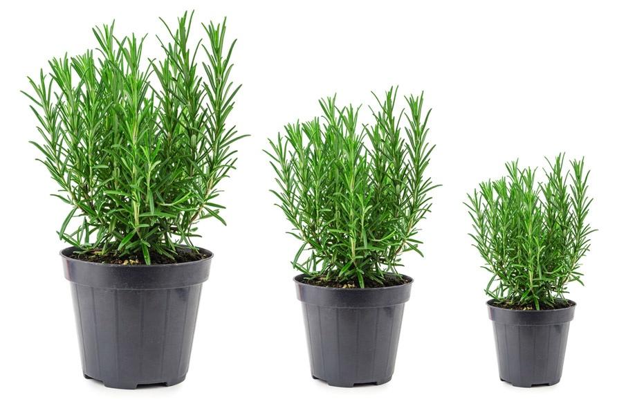 Cách trồng cây hương thảo 2