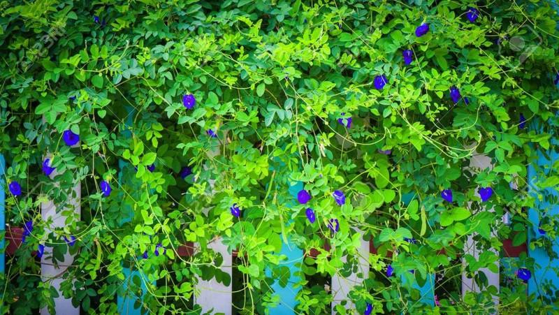 Hoa đậu biếc 4