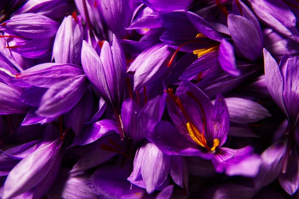 Nhụy hoa nghệ tây Iran 2