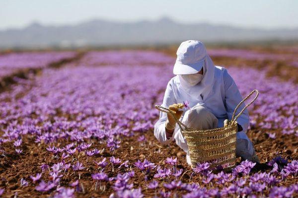 Nhụy hoa nghệ tây xuất xứ ở đâu