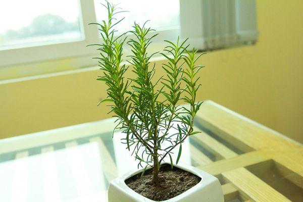 Ý nghĩa của cây hương thảo