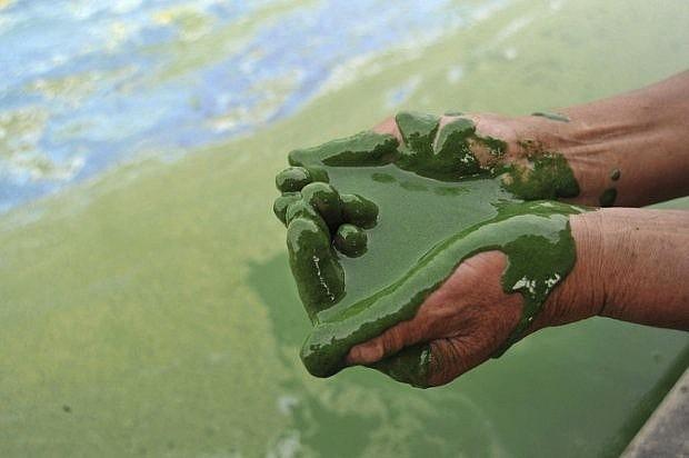 Nước hồ Chaohu, Trung Quốc có màu xanh đậm do sự sinh trưởng mạnh mẽ của tảo biển