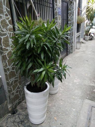 Mệnh Mộc nên trồng cây Trúc Nhật trước nhà