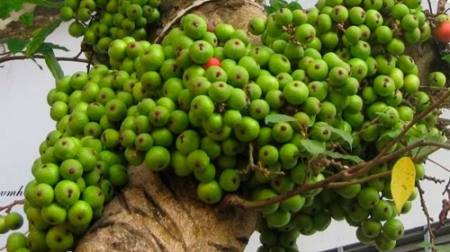 Liệu ăn quả sung chữa bệnh gì?