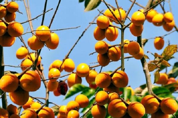 Hồng không hạt Hà Giang