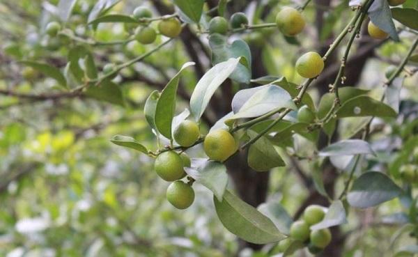 Chanh rừng Lạng Sơn