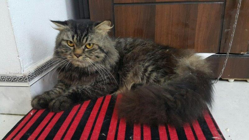 Mèo Mỹ lông dài