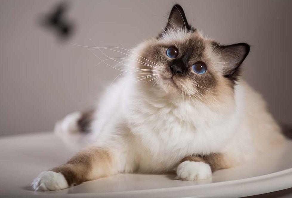 Mèo con Miến Điện