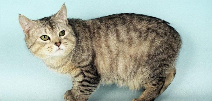 Mèo Manx đuôi cụt