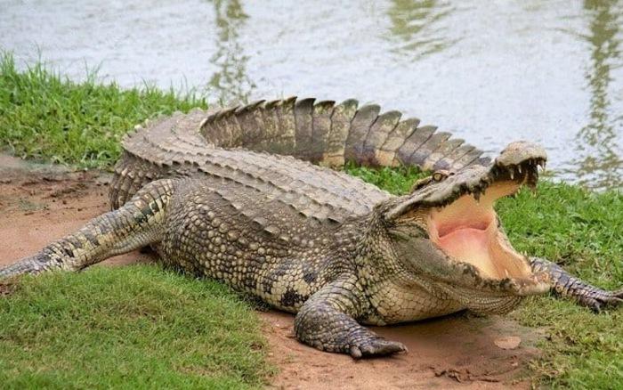 giá thịt cá sấu