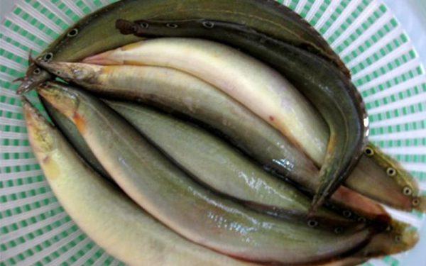 cá chạch kho gừng 3