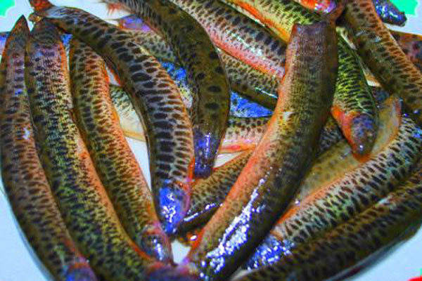 chọn nguyên liệu cho cách nấu cá chạch om chuối chuẩn nhất 1