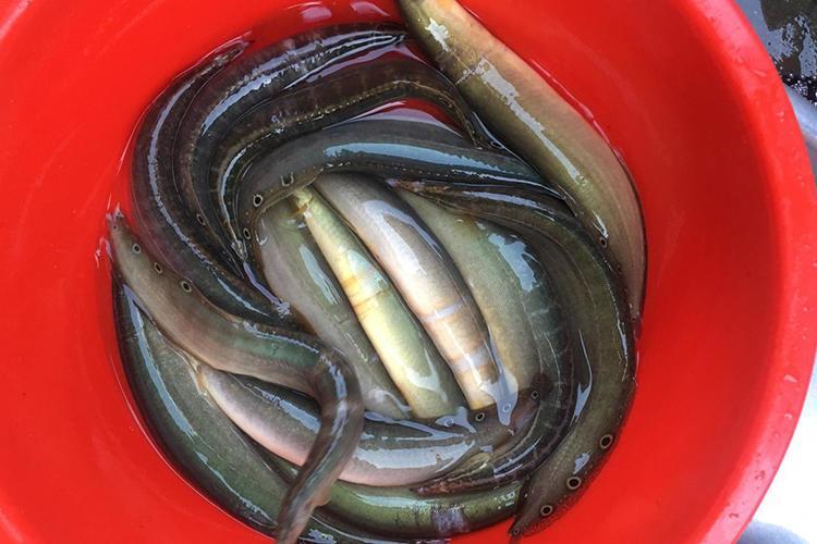hướng dẫn cách chọn cá chạch chiên nước mắm ngon nhất 1