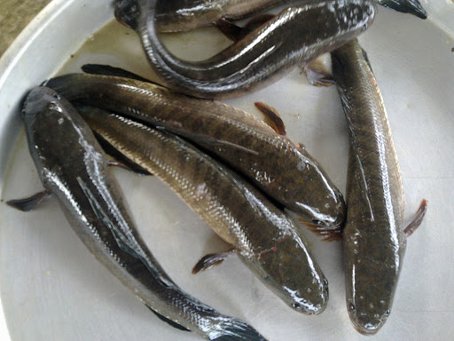 giá cá lóc