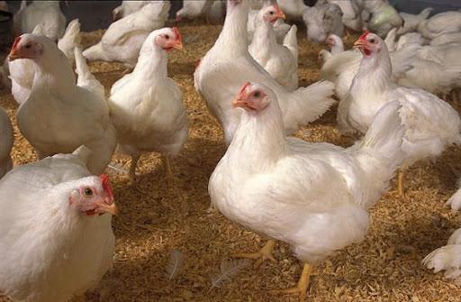giá thịt gà công nghiệp