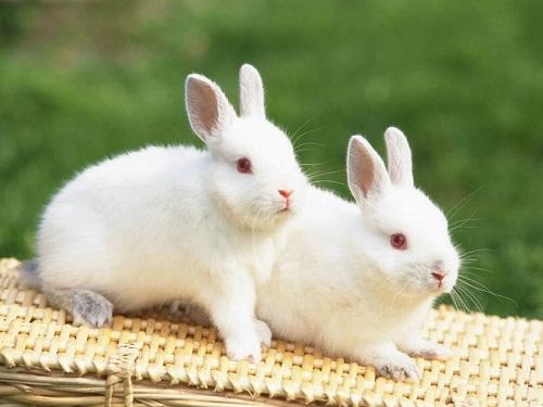 giá thịt thỏ