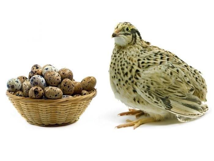 giá trứng chim cút