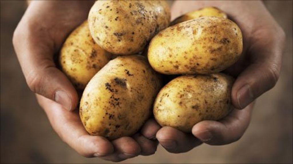phân loại khoai tây trước khi bảo quản 1