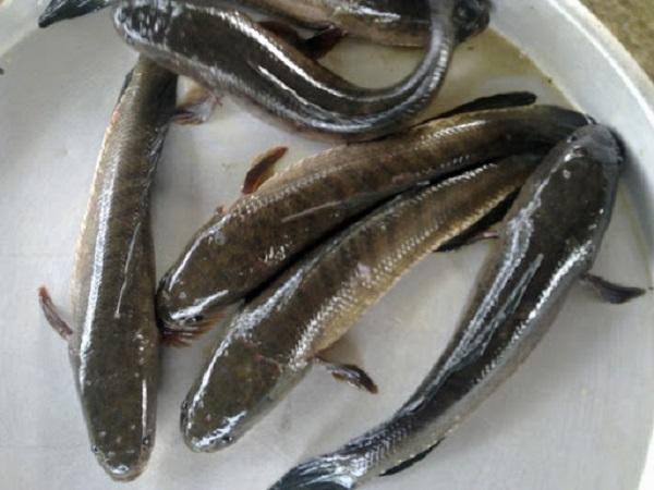 cá lóc hấp cuốn bánh tráng 2