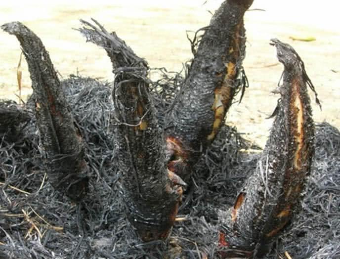 cá lóc nướng trui 3