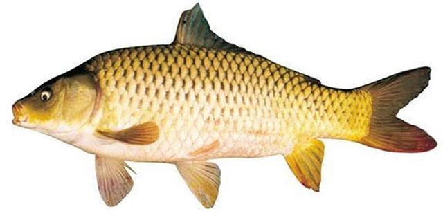 cách làm ruốc cá chép 2