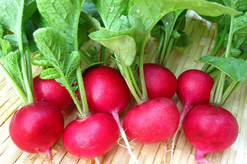 củ cải đỏ 1