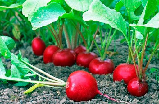 củ cải đỏ 6